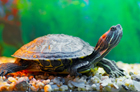 Adopter une tortue d'eau